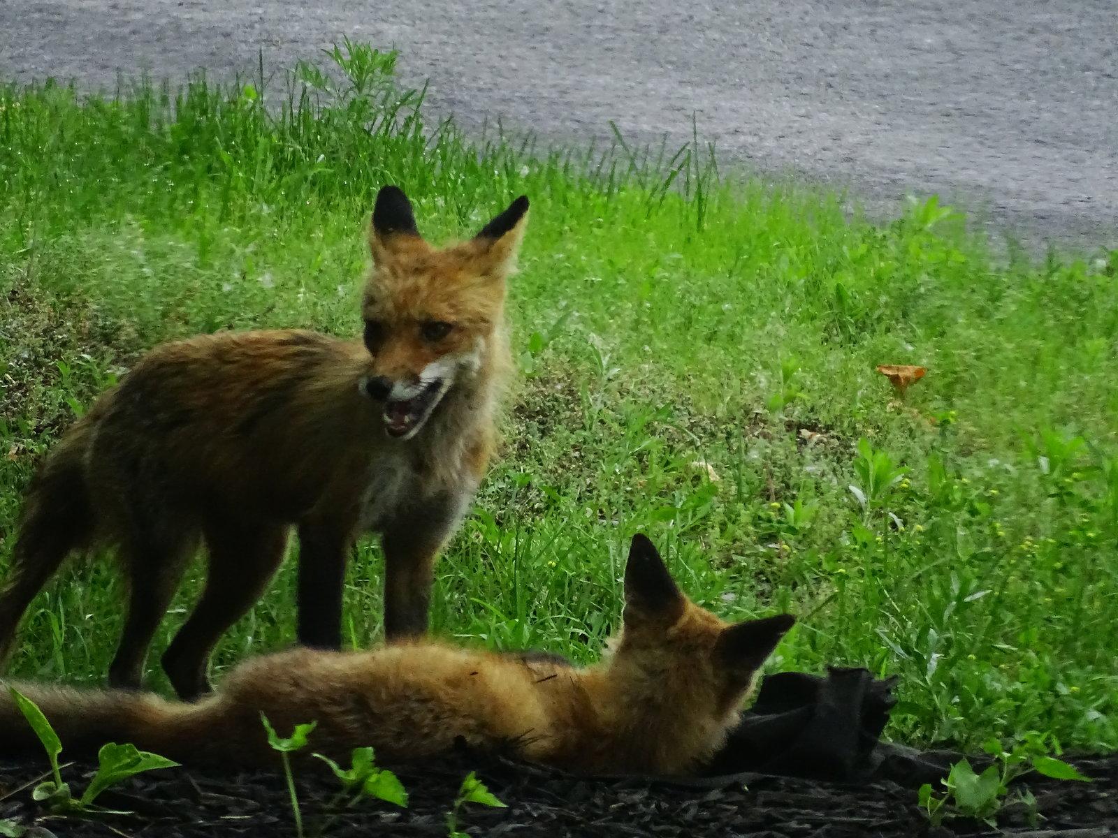 HX400V foxes playing 020.JPG
