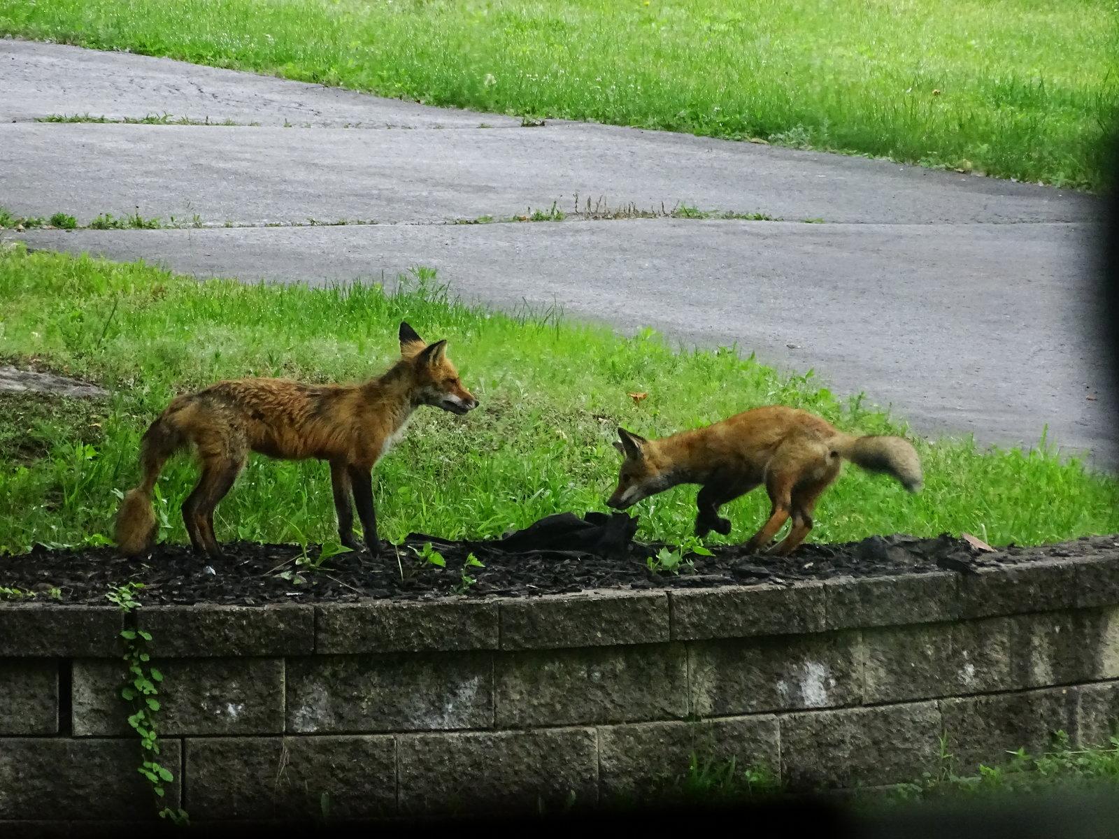 HX400V foxes playing 022.JPG