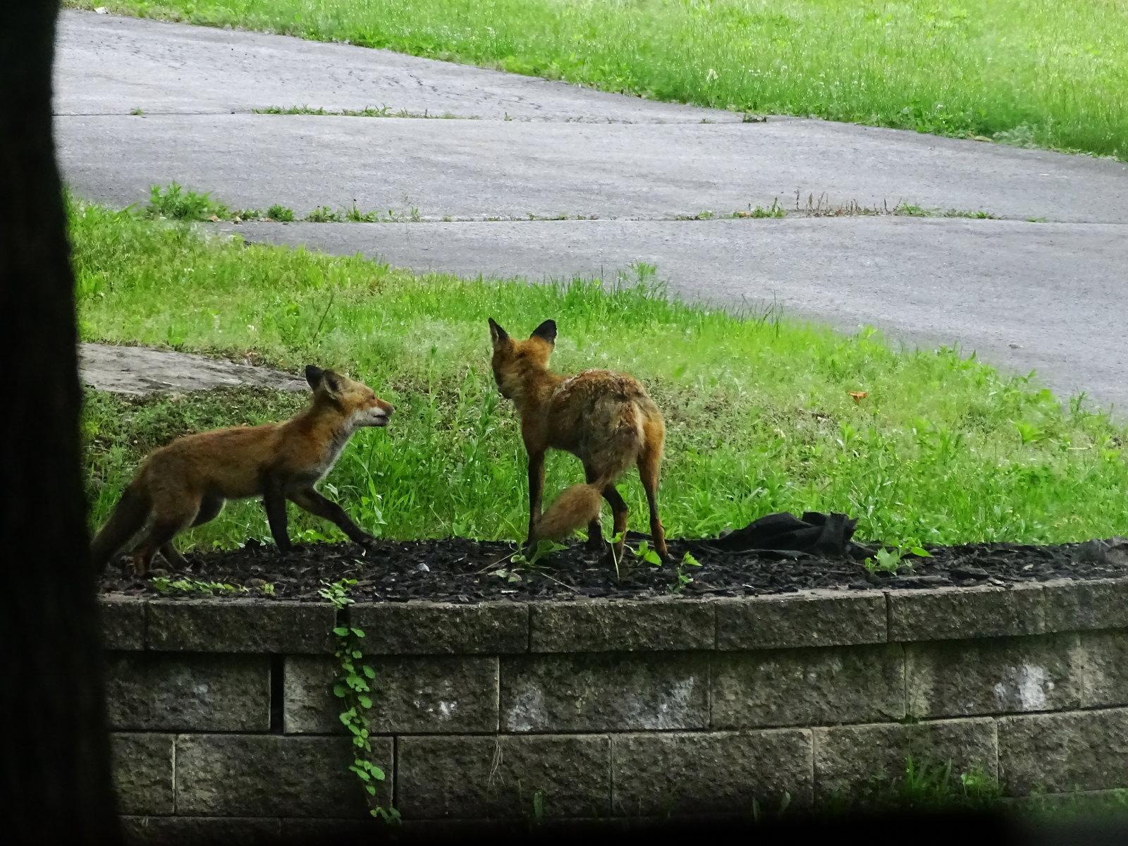 HX400V foxes playing 023.JPG