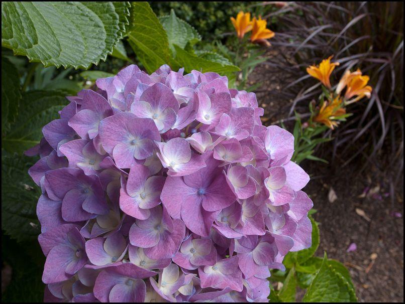Hydrangeas_GRD3_color_July_2010-1.jpg