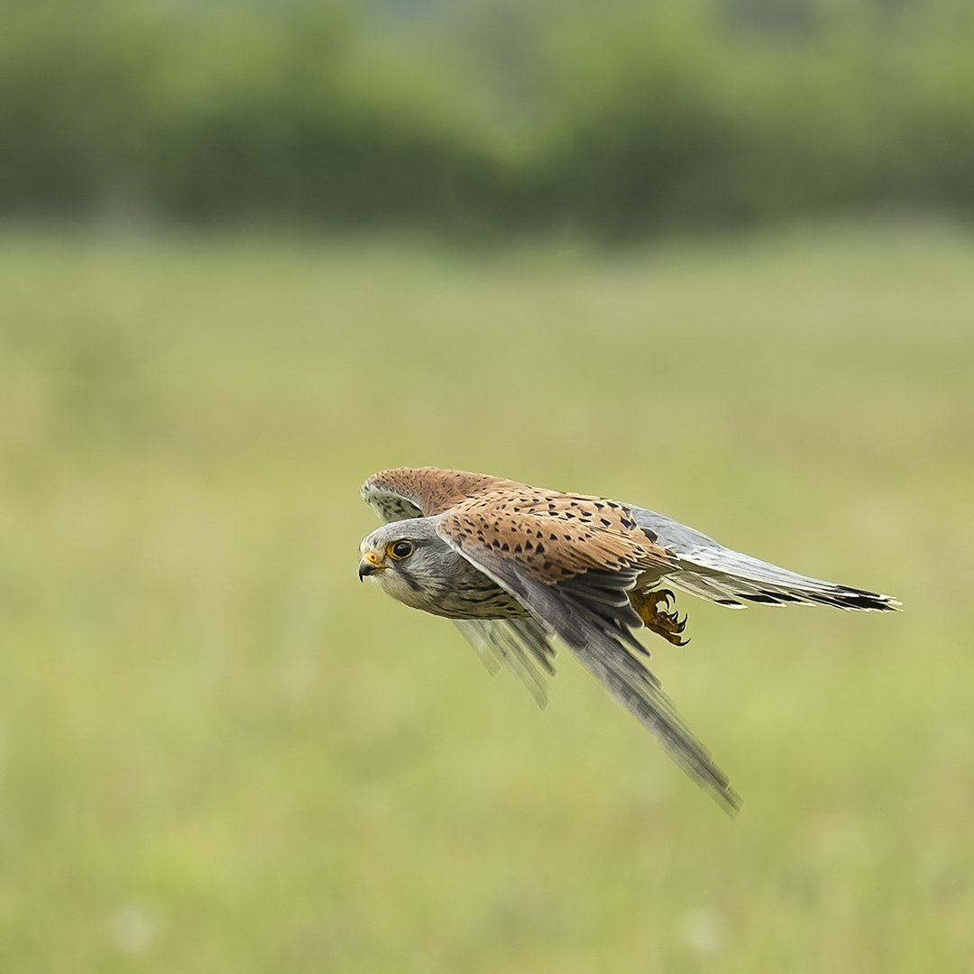 Kestrel in Flight.jpg