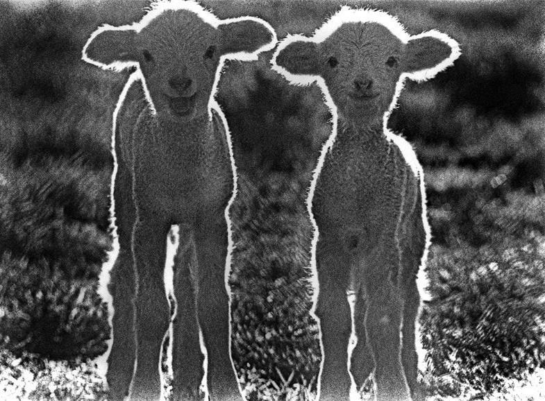 Lambies-UE-X2.jpg
