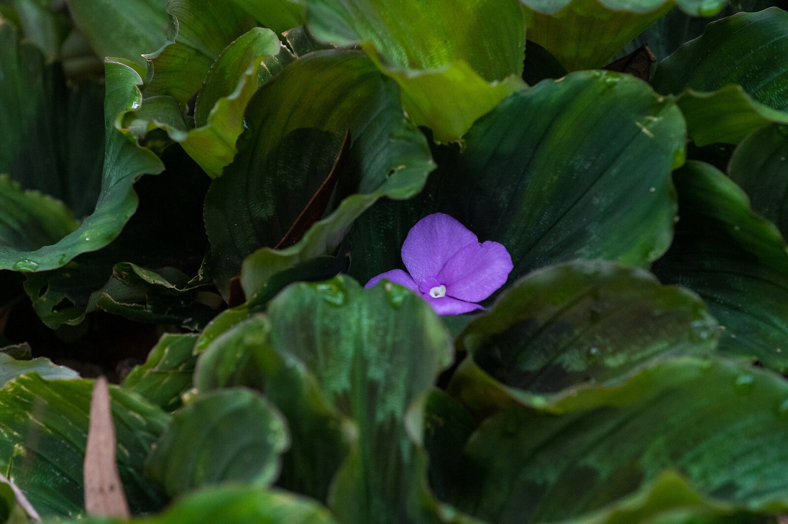 Lavender flower.jpg