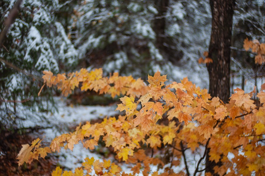 Leaves with Snow.jpg