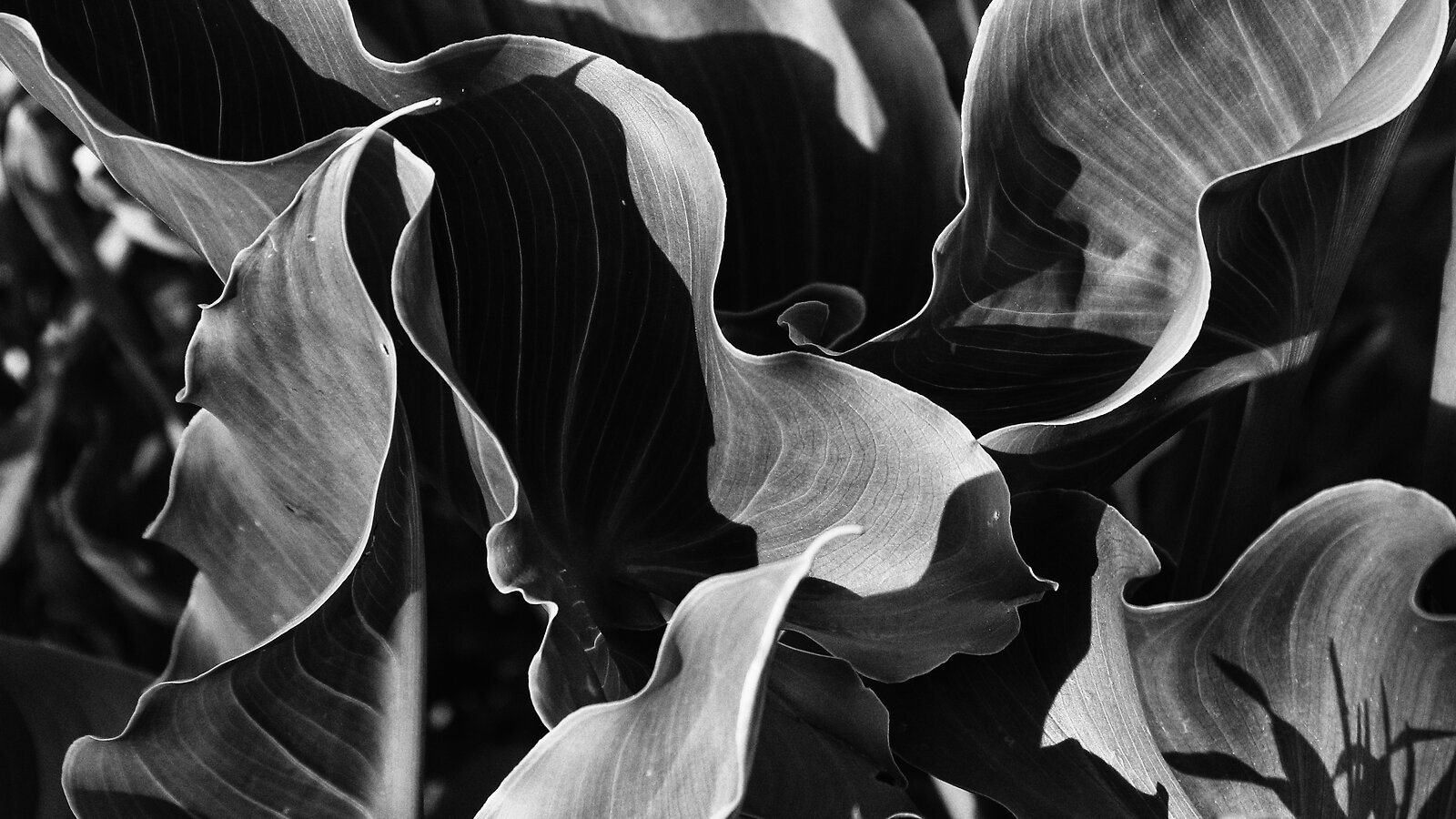 lily_leaves_CanM100_28to105_Dec20_BW.jpg