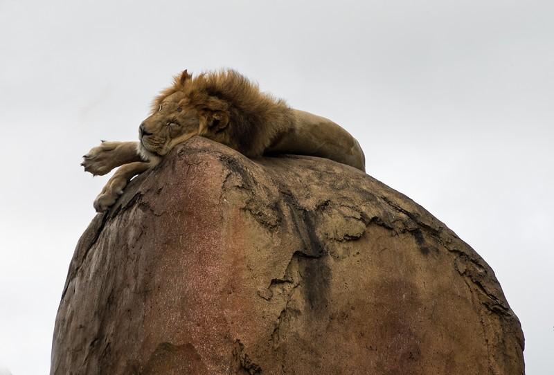 lion2-L.jpg