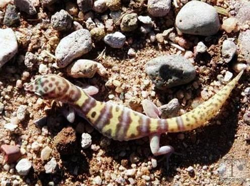 lizard%252Bw.jpg