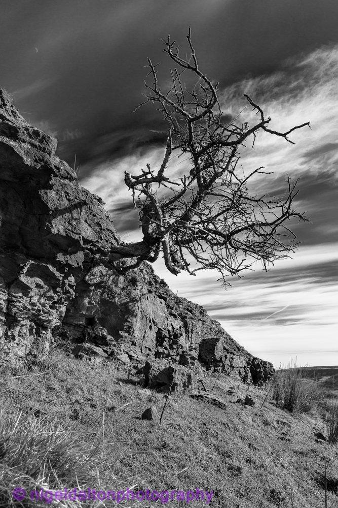 Lone tree near old mine B&W.jpg