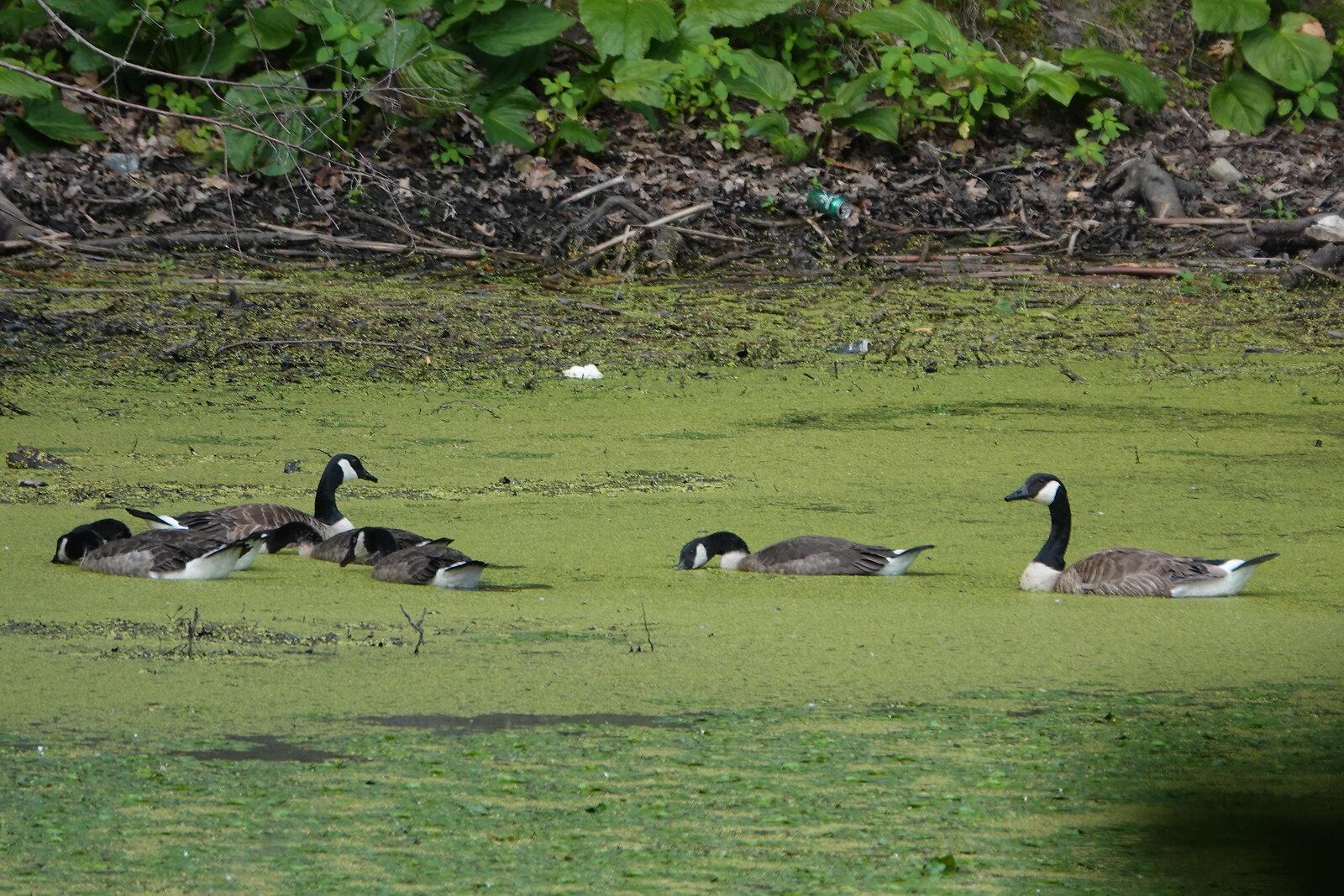 Lovely scum geese Oakwood 003.JPG