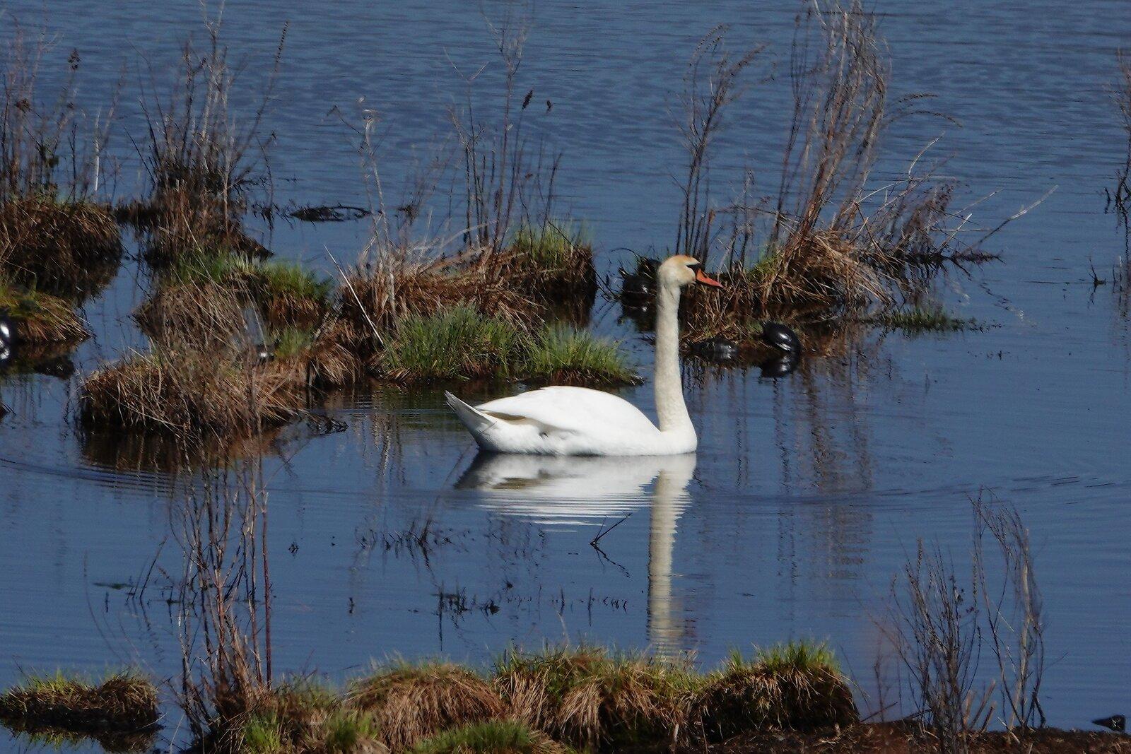 M1 Oakwood Brunswick swans 007.JPG