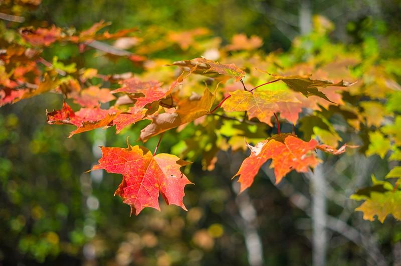 Maple Leaves (1 of 1).jpg
