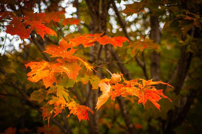 Maple Leaves - September 24th.jpg