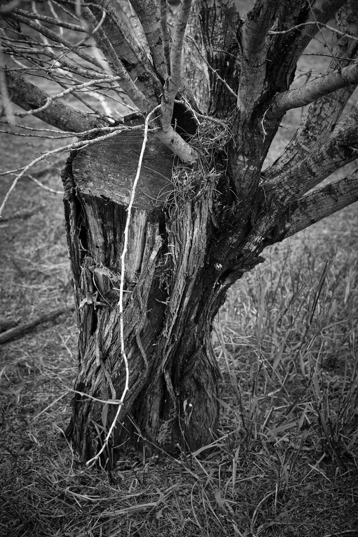 Mesquite stump bw.jpg