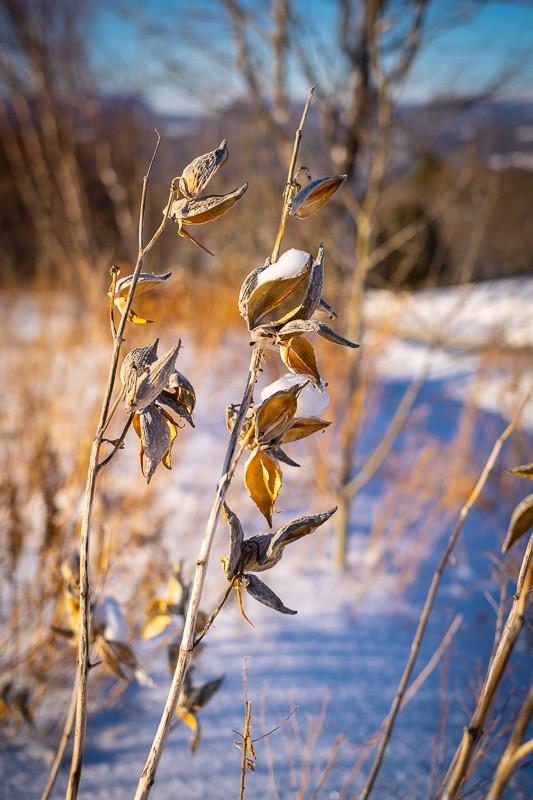 Milkweed #2.jpg