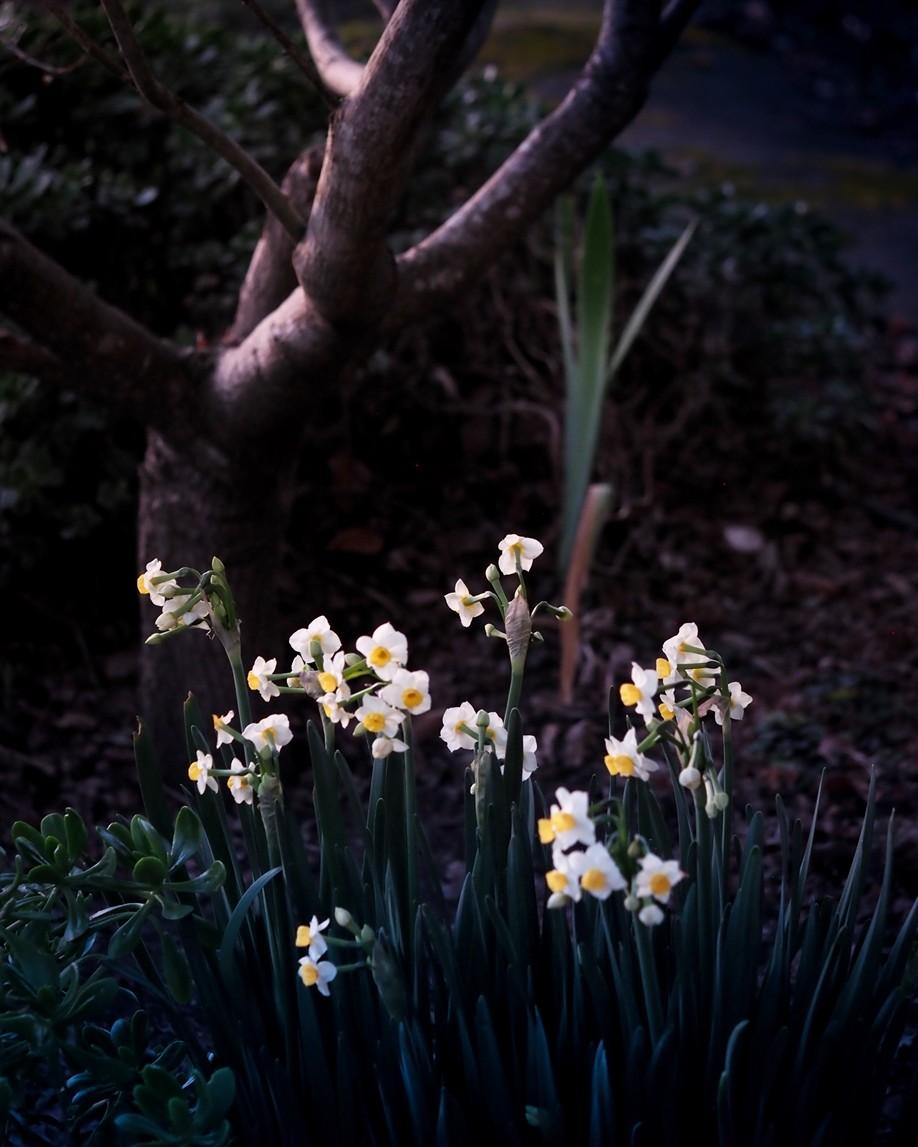 narcissus_EM1ii_60mm_Feb20_smaller.jpg