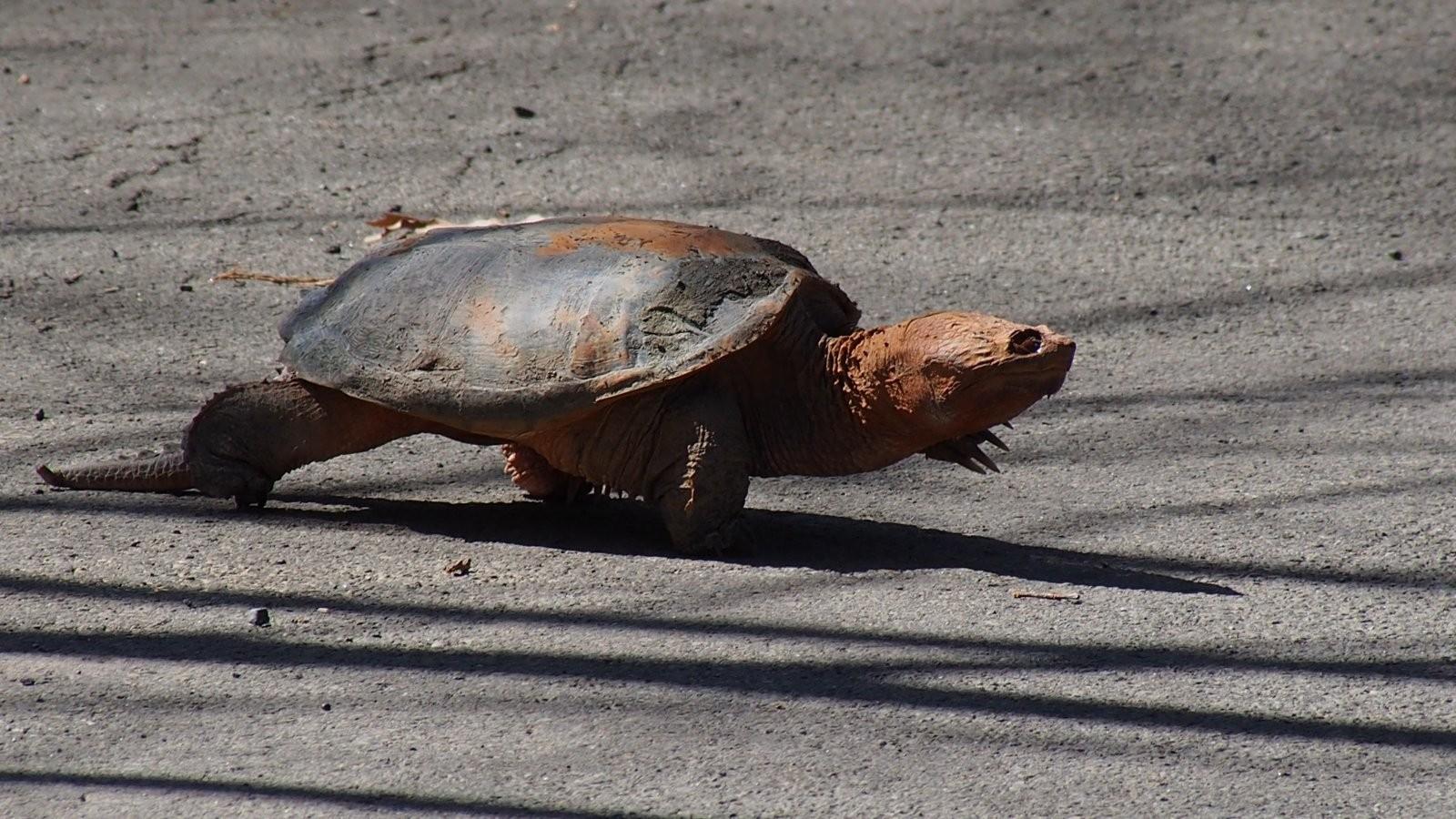 OMD Oakwood Turtles (21).JPG