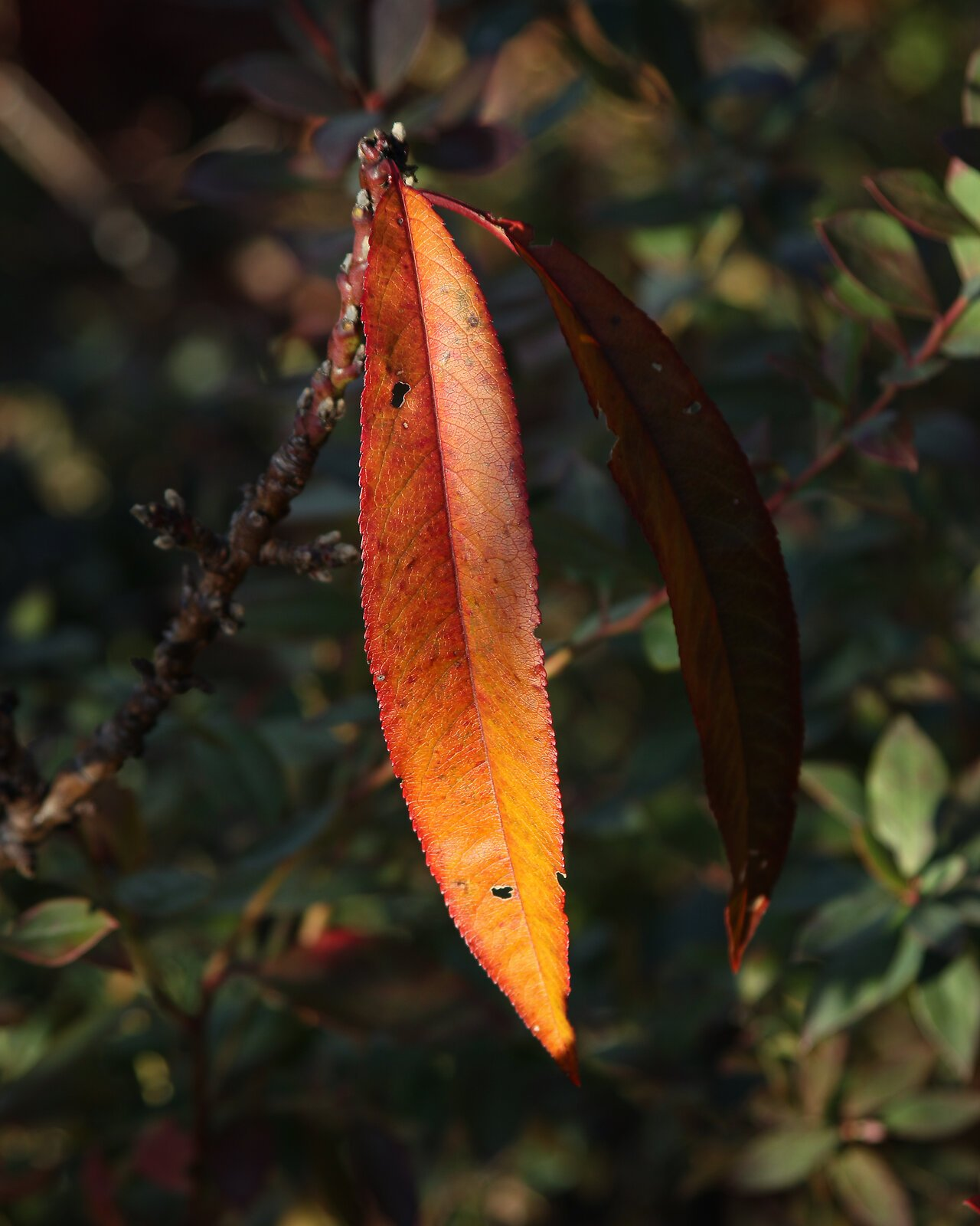 orange_leaf_CanM100_28to105_Dec20.jpg