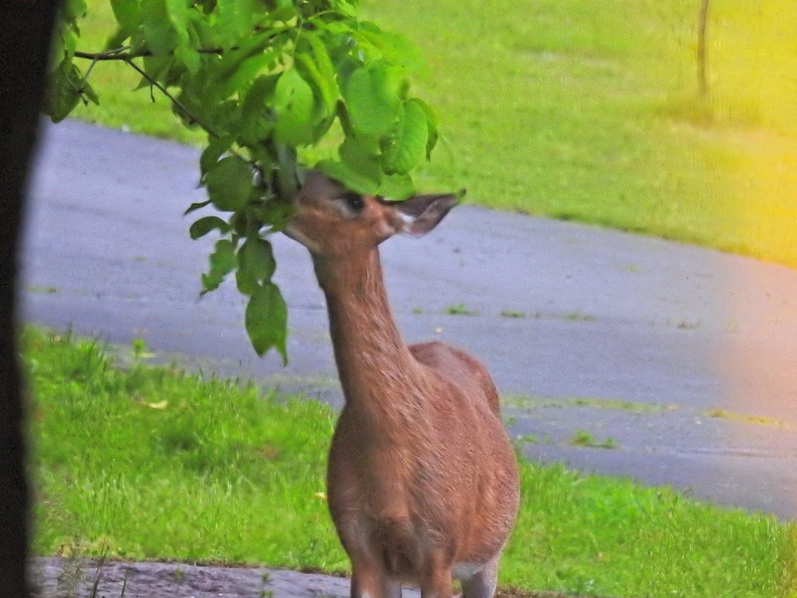 P900 deer eating breakfast (7)_DxO.jpg