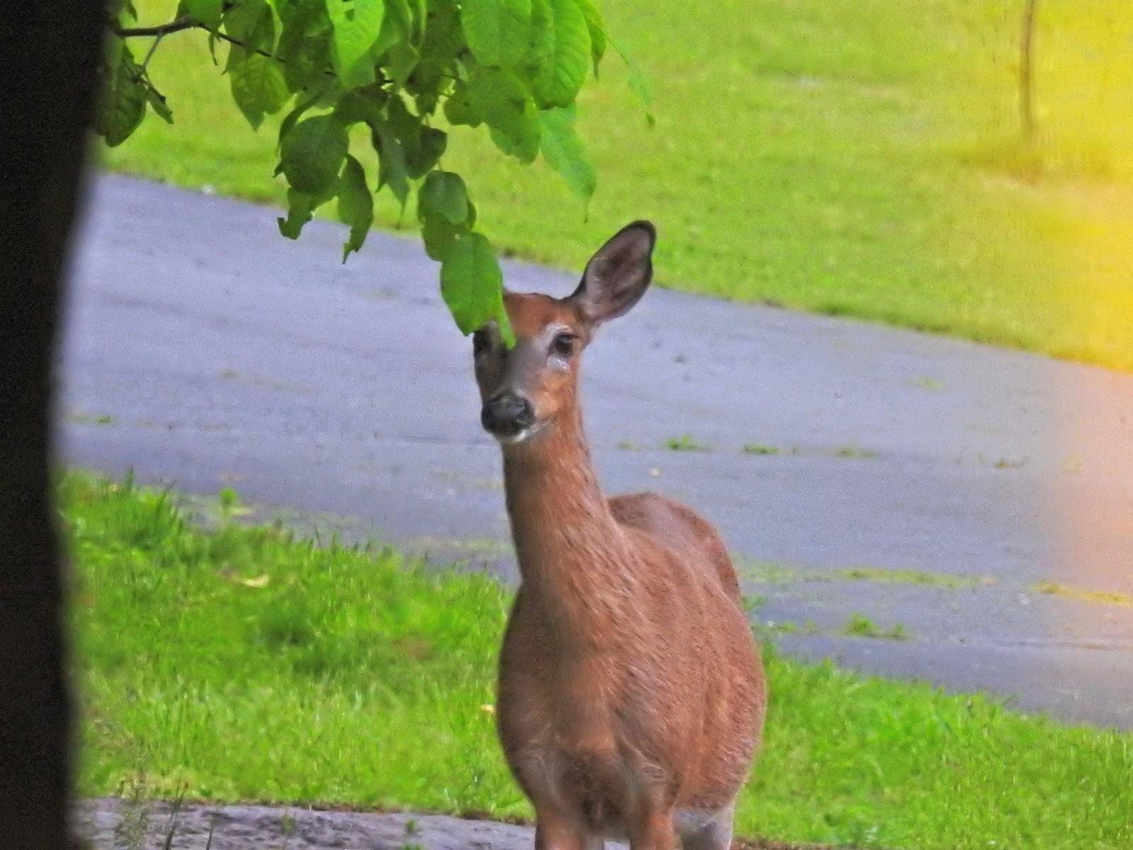 P900 deer eating breakfast (8)_DxO.jpg
