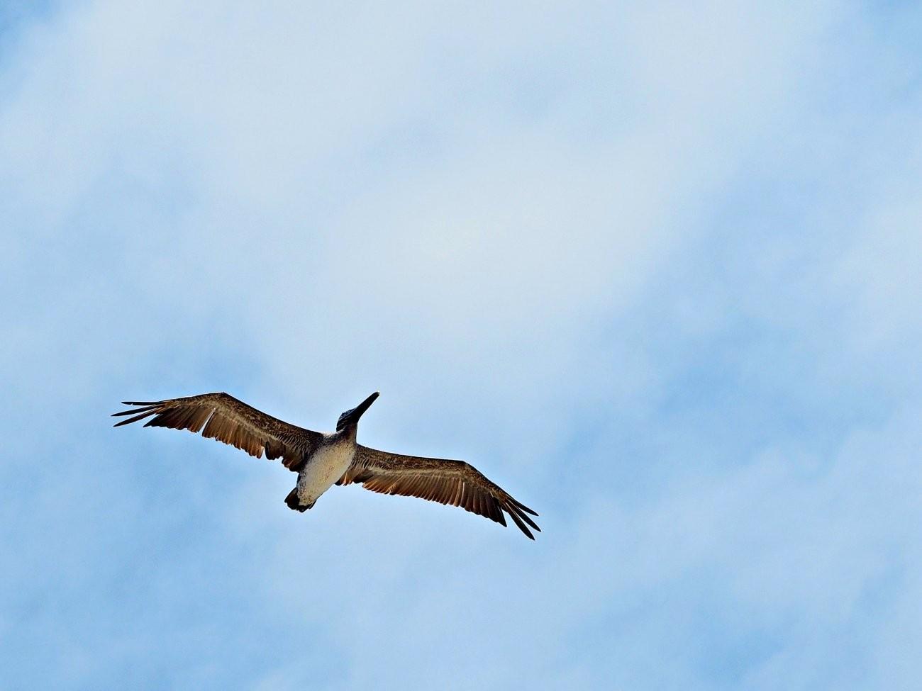 pelican1-ipiccy.jpg