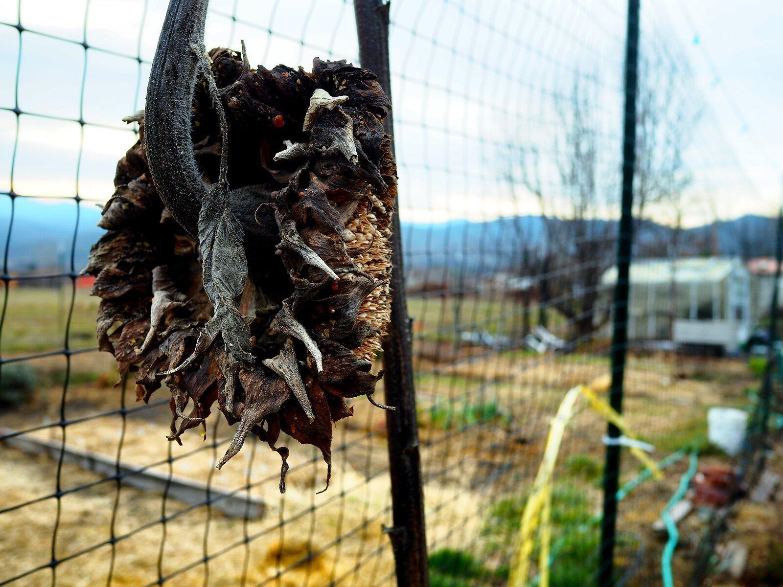 PenF_Jan5_21_dead_sunflower#2.jpg