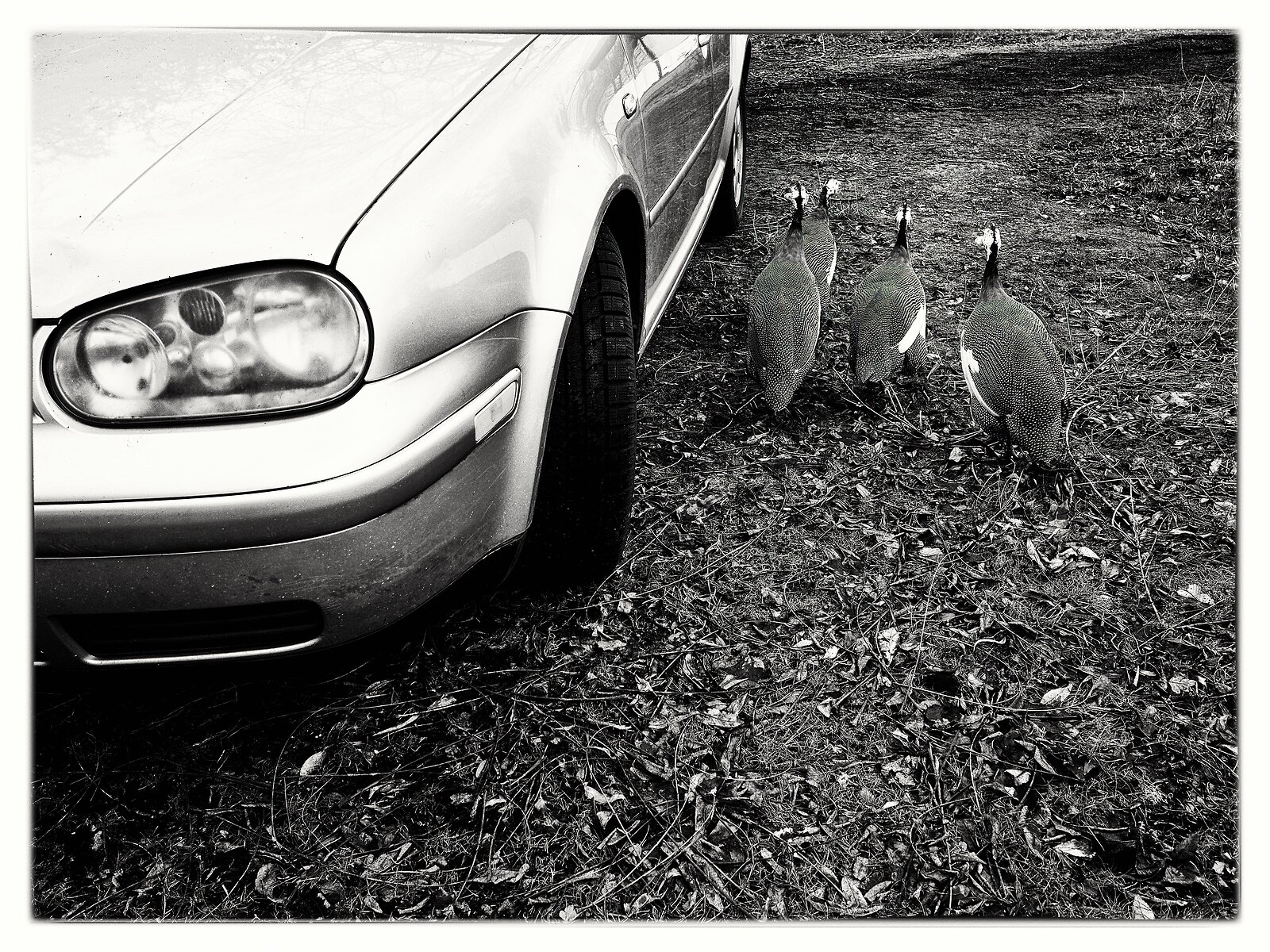 PenF_Jan8_21_guinea_hens+car.jpg