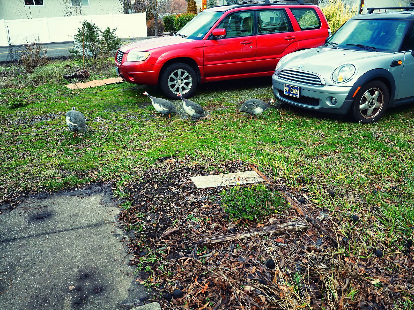 PenF_Jan8_21_guinea_hens_and_cars.jpg