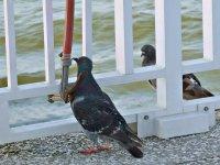 Pigeon10_s.jpg