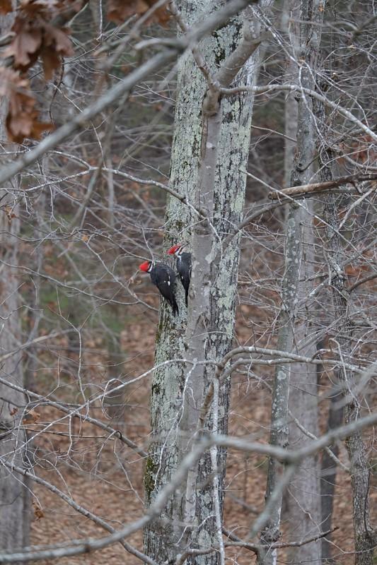 Pileated Woodpecker Pair 800px.jpg