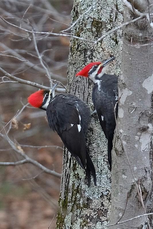 Pileated Woodpecker Pair Crop 800px.jpg