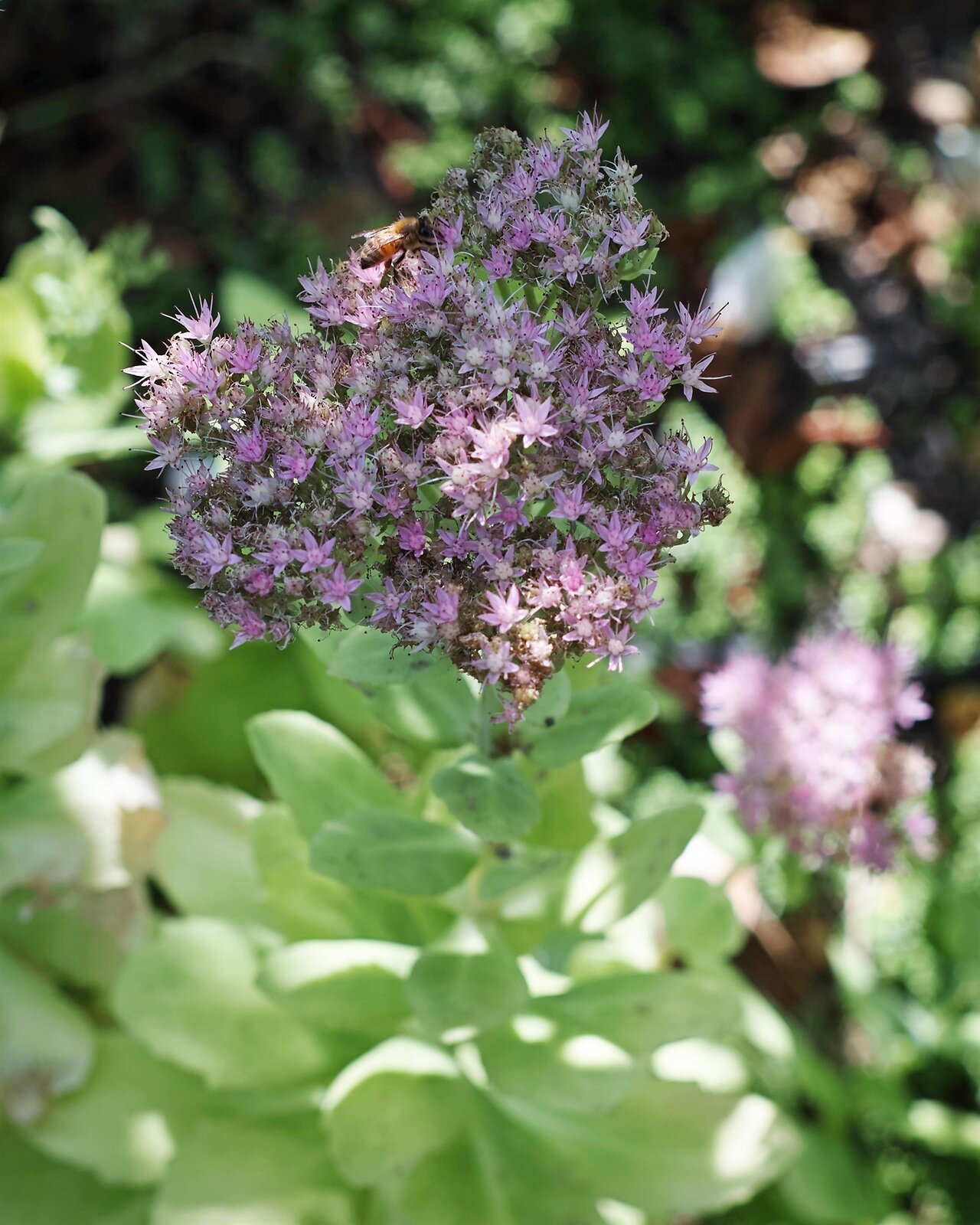 purple_bee_SDQH_Pent50_Sept20_smaller.jpg