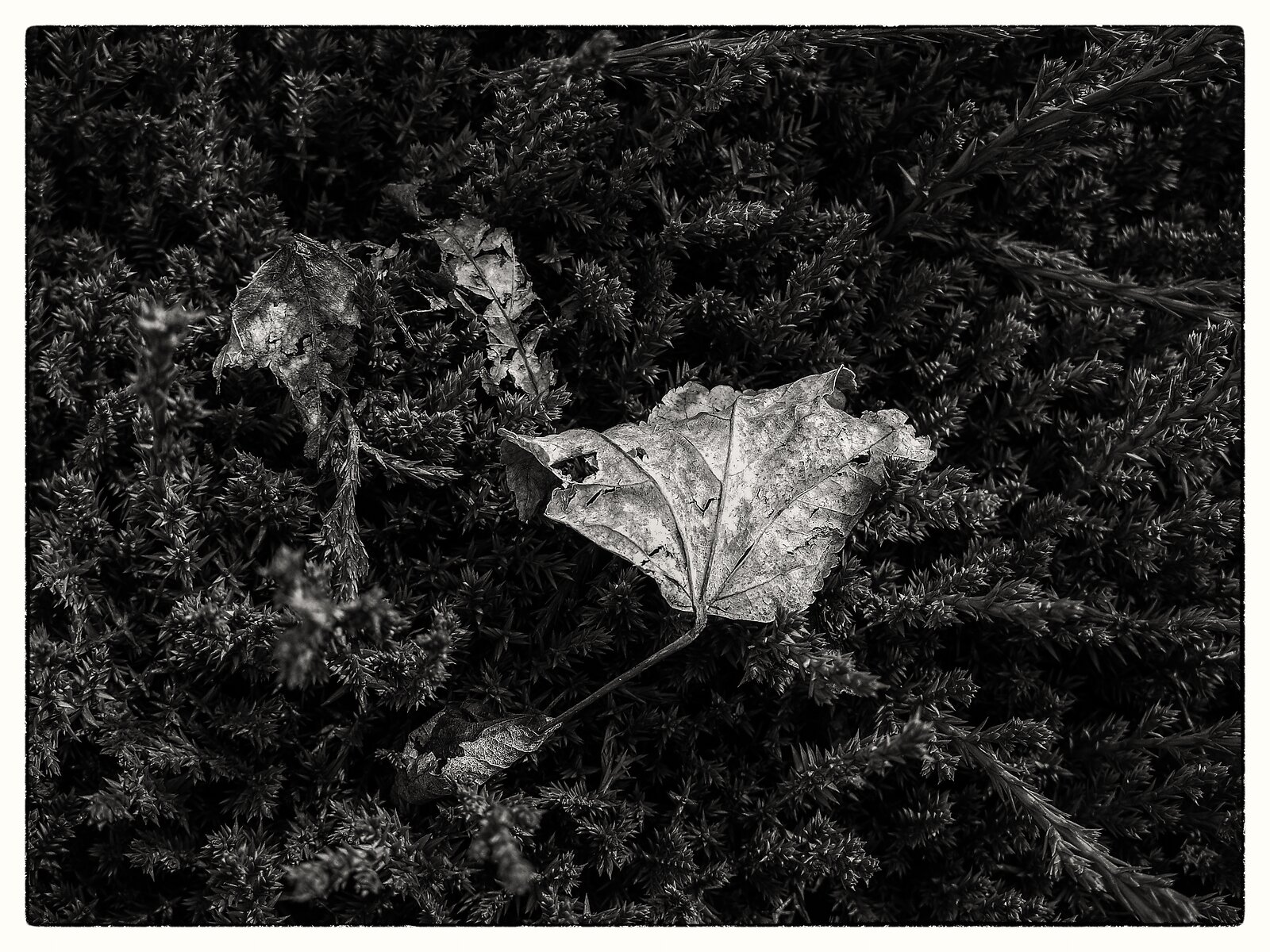 Q7_Mar8_21_leaf_on_hedge.jpg