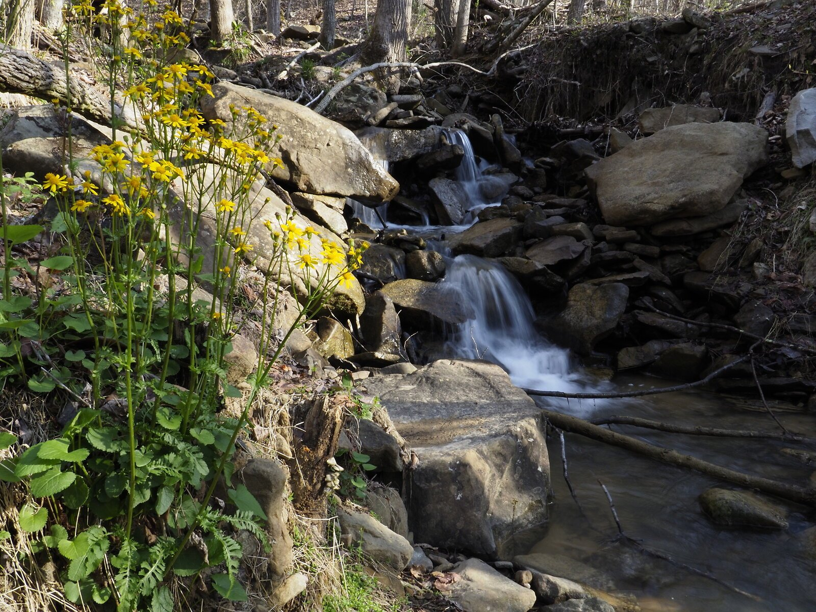 ragwort waterfall.JPG