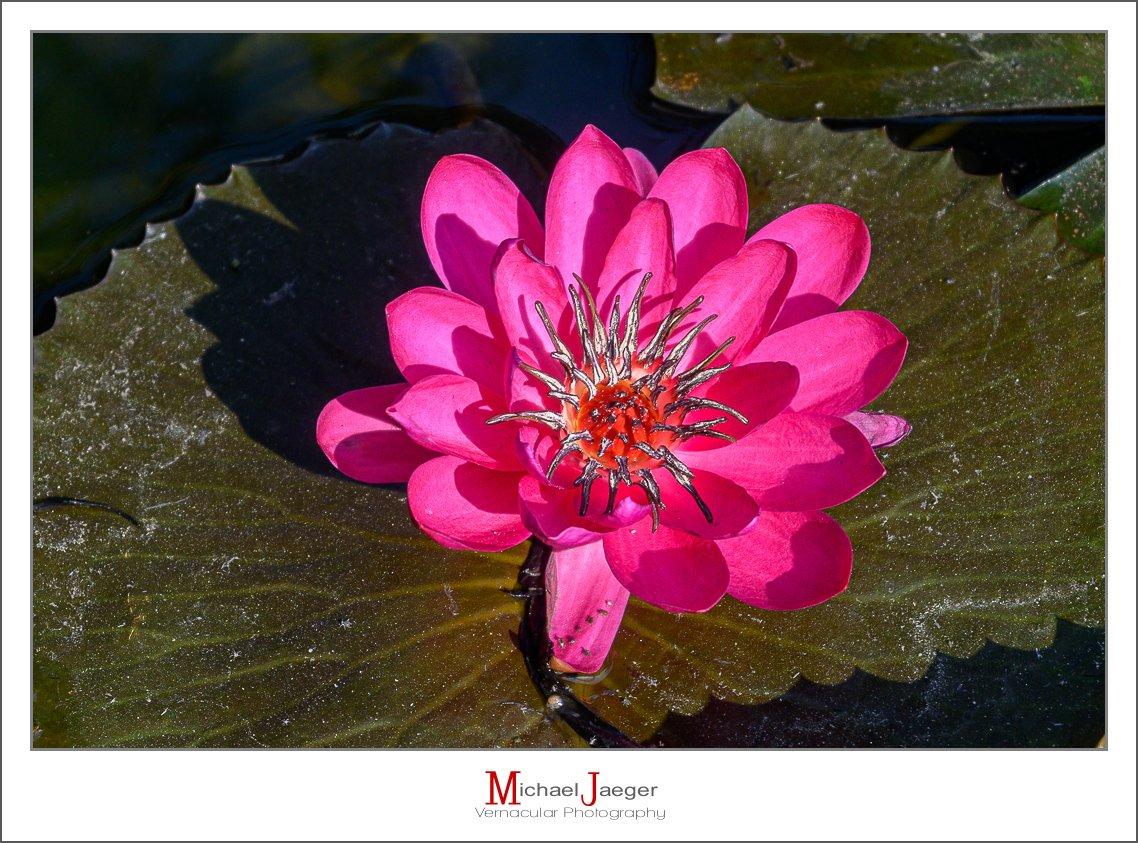 red lotus-1.jpg