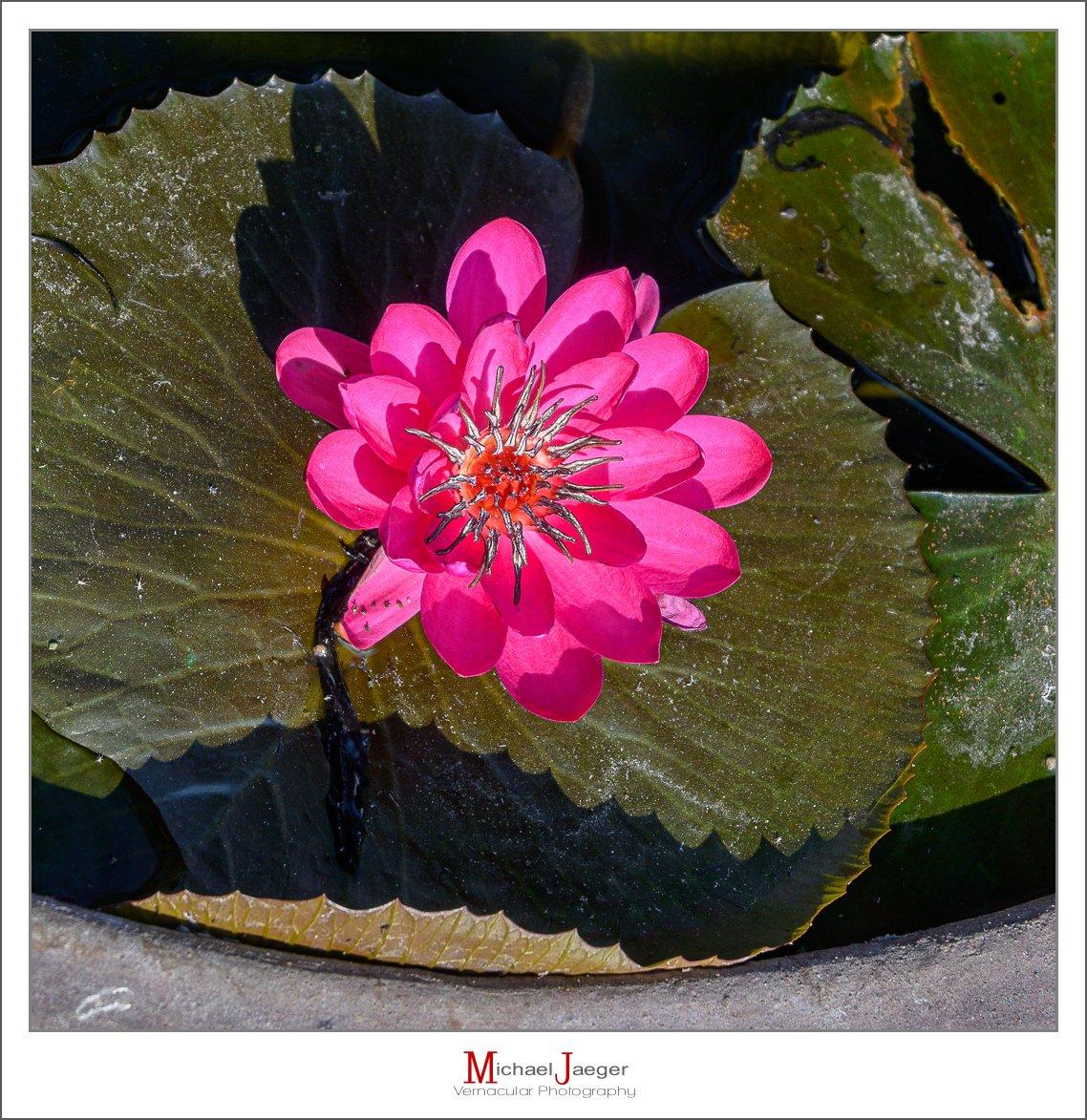 red lotus-2.jpg