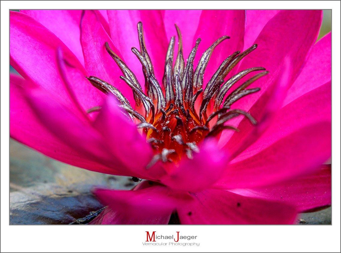 red lotus-3.jpg