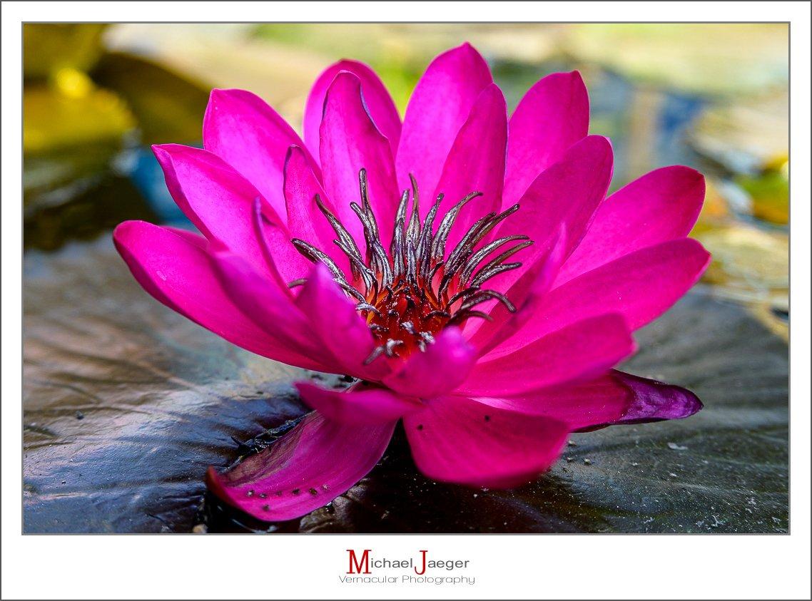 red lotus-4.jpg