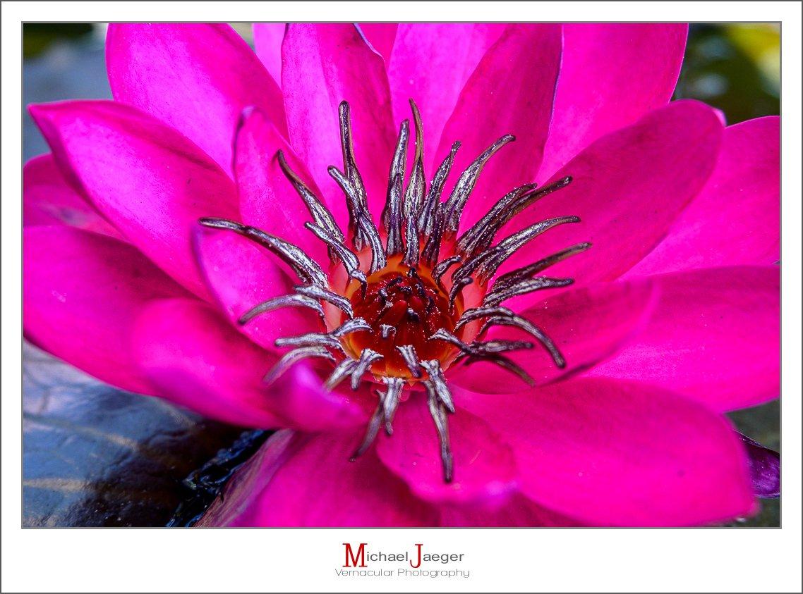 red lotus-5.jpg
