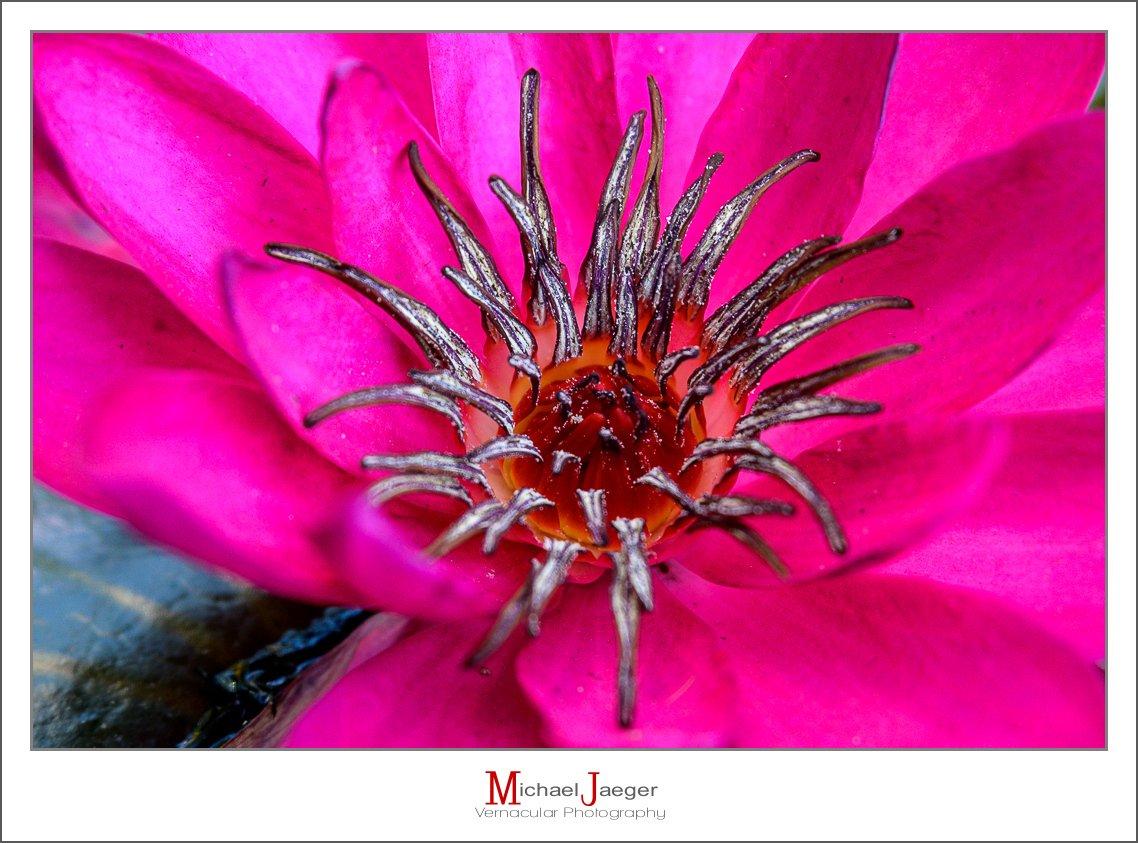 red lotus-6.jpg