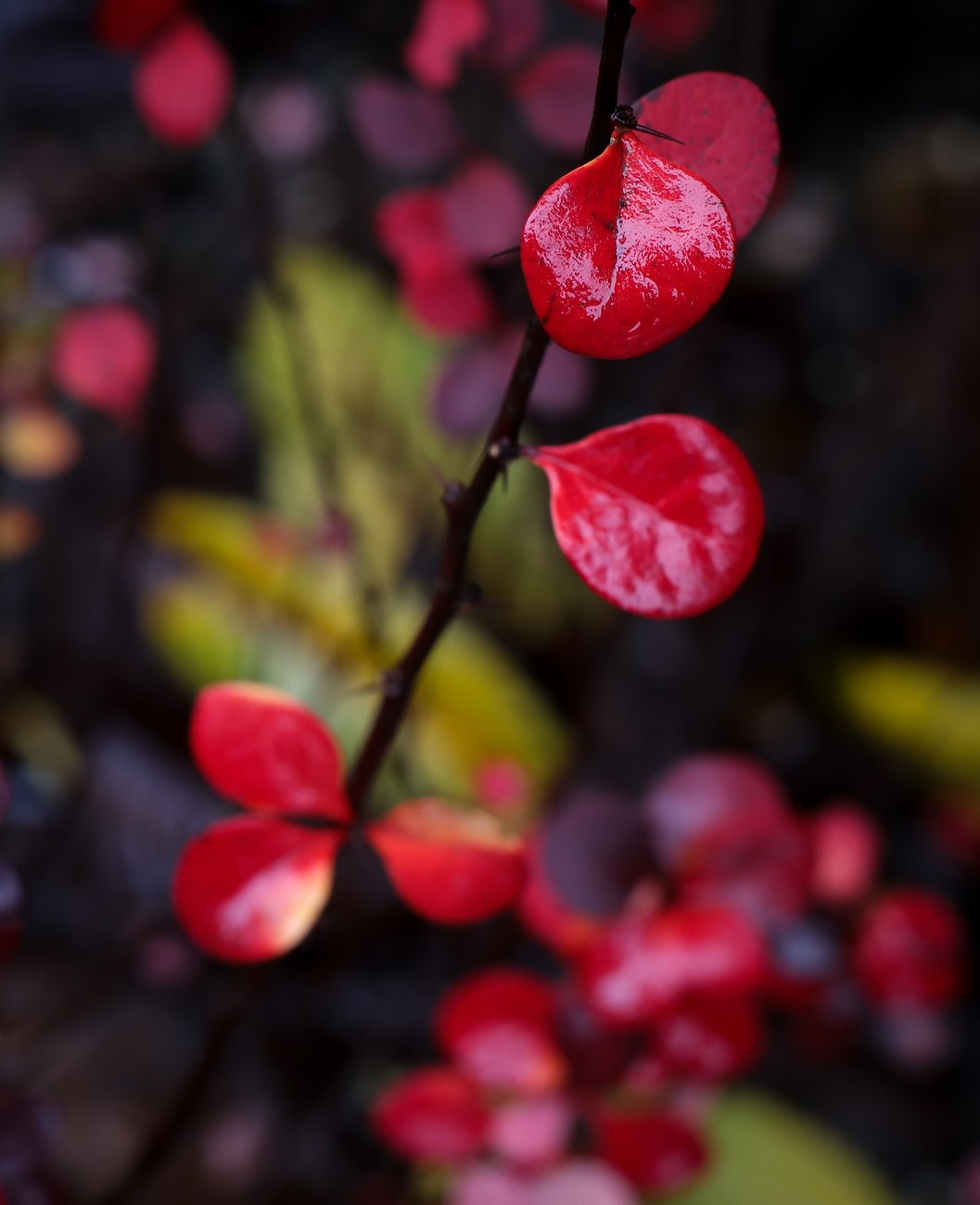 red_leaves_CanM6ii_OM50_Dec19_small.jpg