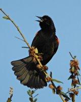 Redwing_Blackbird09_s.jpg