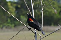 Redwing_Blackbird10_s.jpg