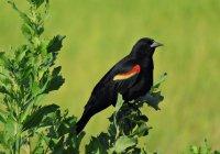 Redwing_Blackbird11_s.jpg