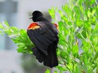 Redwing_Blackbird12_s.jpg