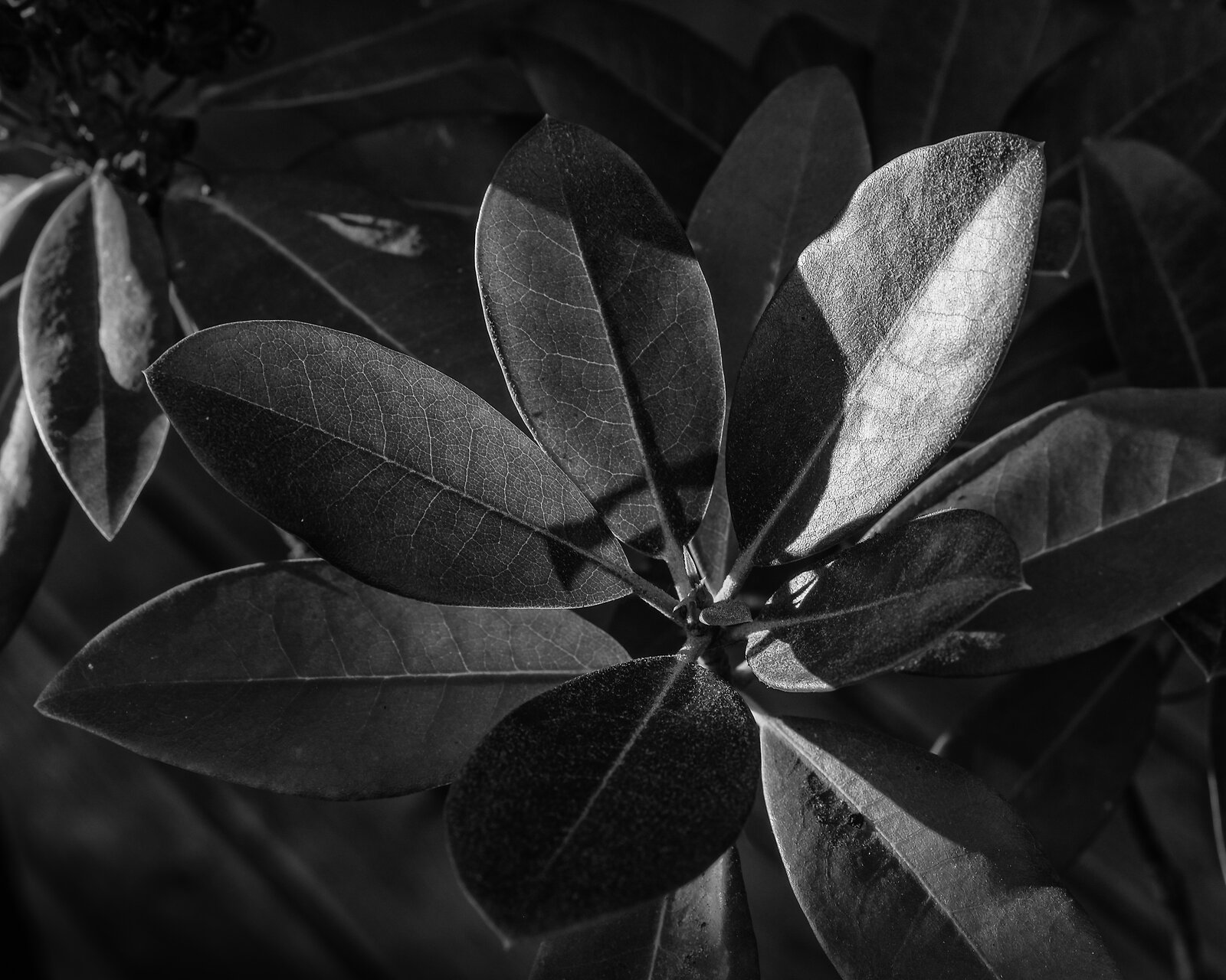 Rhod_leaves_EXt3_50mm_Dec20_BW.jpg