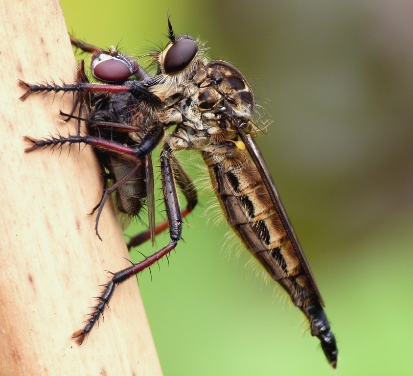 Robber Fly With Prey - Natural History (Passuello Cup) winner 2011.jpg