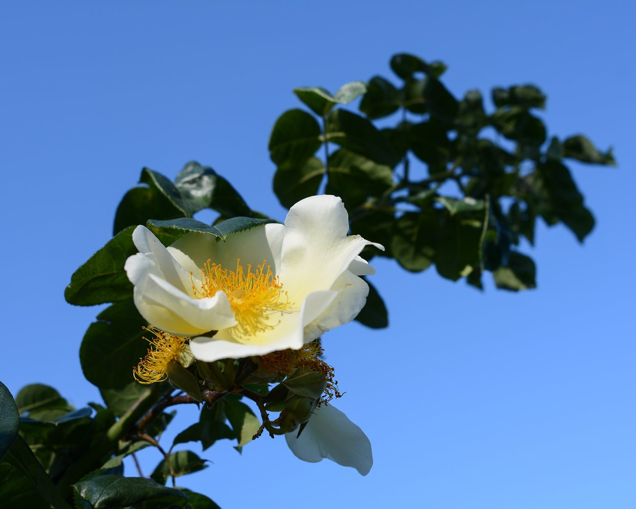 rose_Nid24_D7100_Sept19.jpg