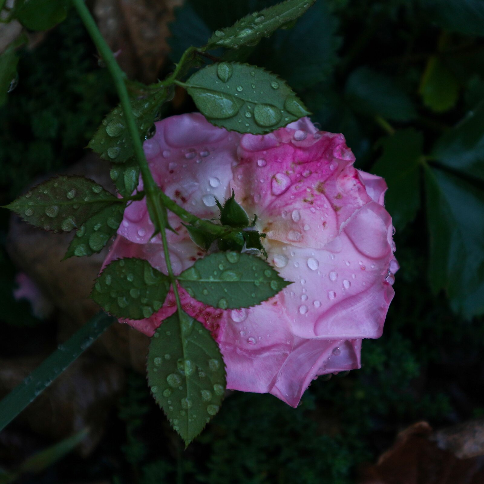 rose_wet_CanM100_15to45_Dec20.jpg
