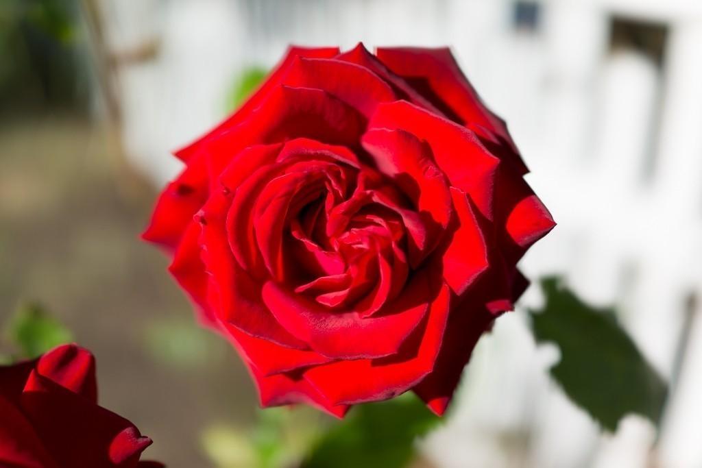 rosey-2.jpg