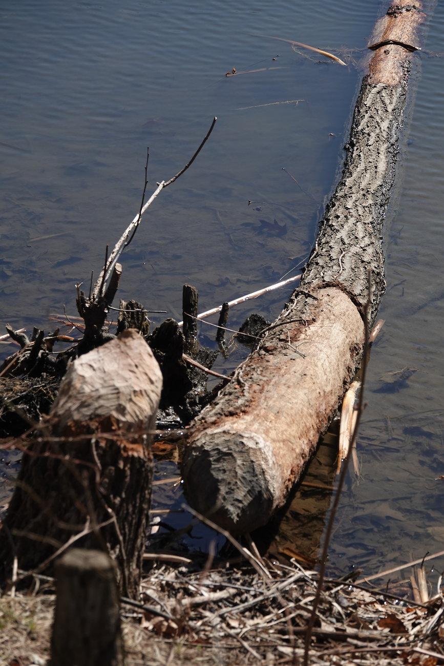 RX10 Moon Oakwood Beaver tree 014.JPG